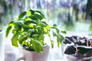 herbs windowsill