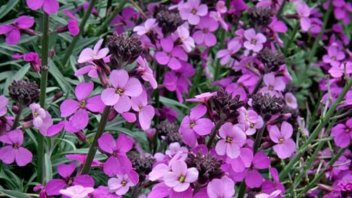 Erysimum Bowles Mauve - all-weather perennials