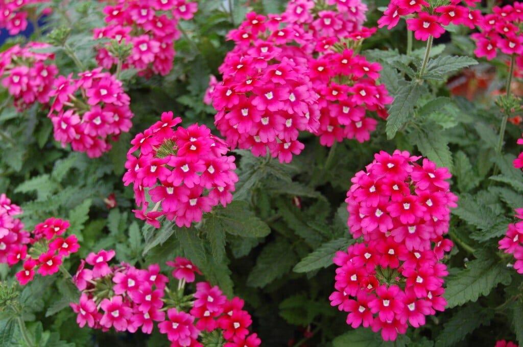 Verbena - all-weather perennials