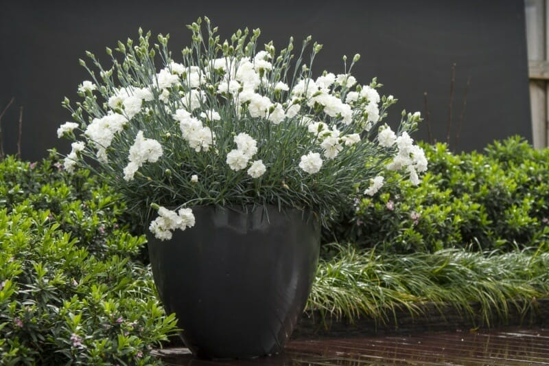 dianthus memories - all-weather perennials