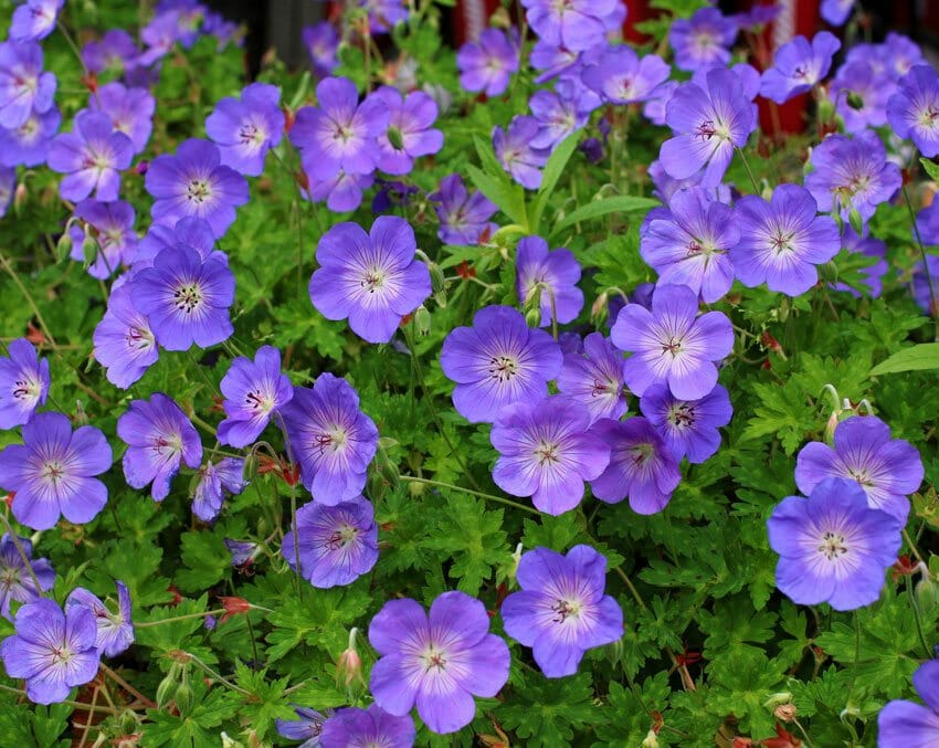 All-weather perennials in your garden to plant now ...