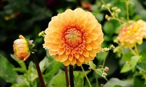 Autumn Plants For Your Garden Dahlia